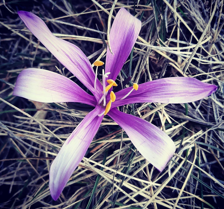 guide bota colchique de printemps